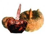 Konjac tubers