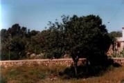 wild carob tree