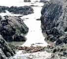 Shore cast laminaria